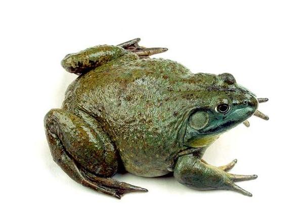 蛙脑结构图