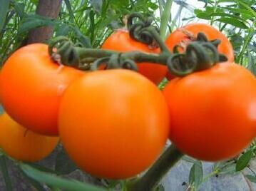 不同颜色的西红柿营养也不同