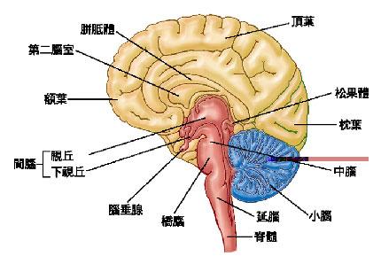 神经系统结构简图