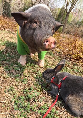 微博上晒出和宠物猪的合照.