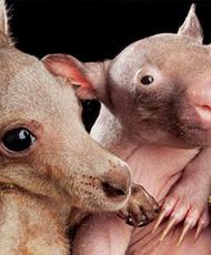 透过镜头看世界:袋鼠和袋熊互相依偎