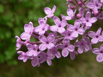 丁香花是一种有着淡淡的丁香的花,一簇一簇的,每一朵都小巧玲珑.怎么买紫色茶图片