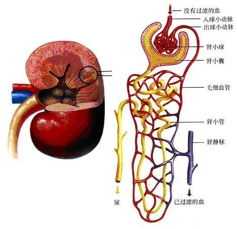 肾脏内部结构示意图