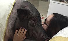 北京女子与宠物猪相拥而眠